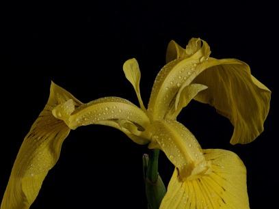 swamp-iris-3432753_1920