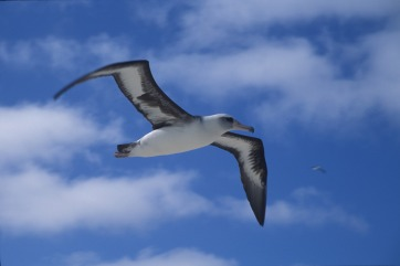 laysan-albatross-848343_1920